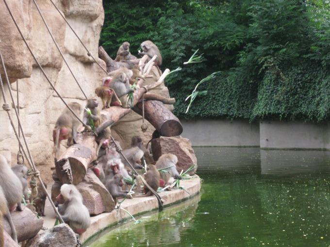 Bei der Fütterung der Paviane flogen die Porree-Stangen
